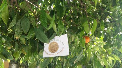 Στο Ηράκλειο Αττικής μπολιάστηκαν οι νεραντζιές και οι δημότες θα έχουν δωρεάν λεμόνια